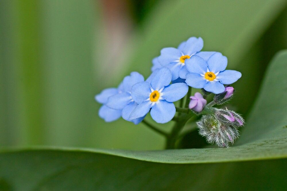 Forget-me-not on green by BCkat