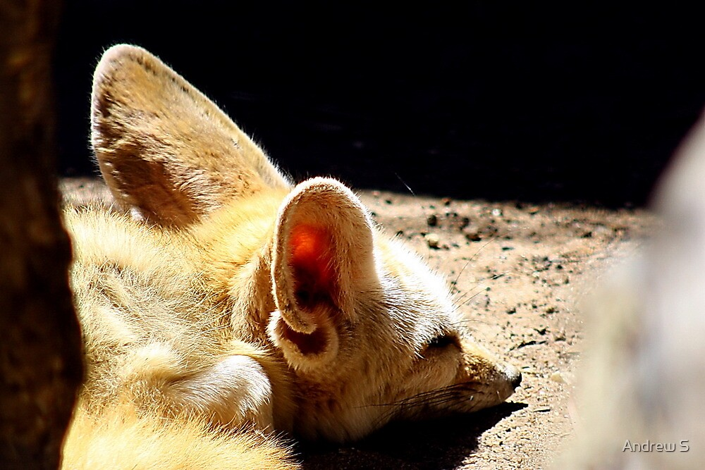 Fennec Fox by Andrew S