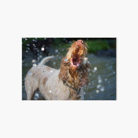 Orange and White Italian Spinone Dog in Action Art Board Print