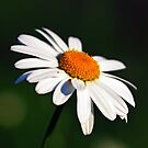 Medow daisy by Doug McRae