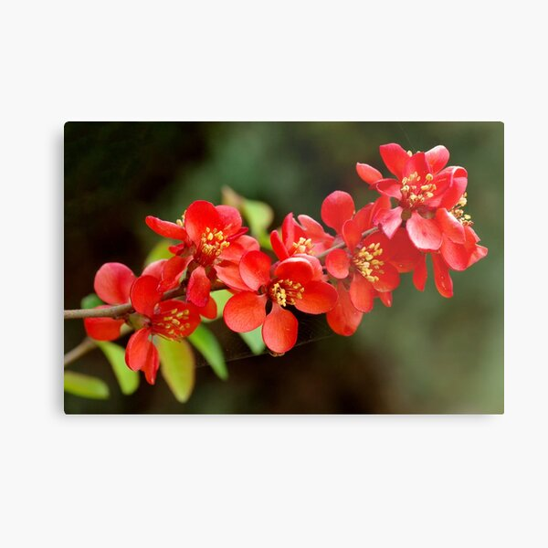 Japanese Quince branch Metal Print