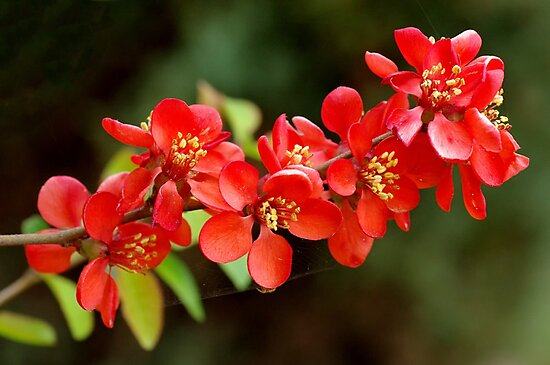 Japanese Quince branch by Ivo Velinov