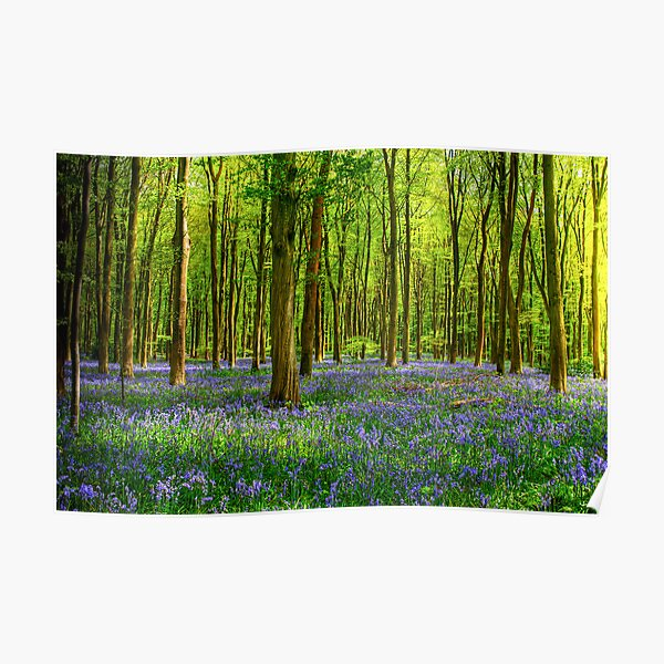 Bluebells in Micheldever Wood Poster