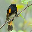 American Redstart by Wayne Wood