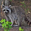 Rocky Raccoon by Kathy Baccari