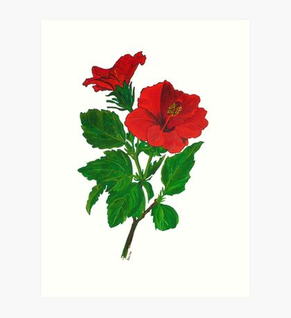 A Red Hibiscus Flower Isolated On White Background Art Print
