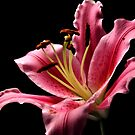 Pink Lily by Robin Black