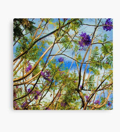Jacaranda in flower Canvas Print