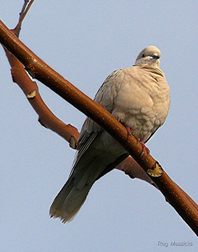 Ring necked dove.........! by Roy  Massicks