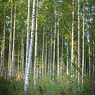 Birch Forest I by MikkoEevert