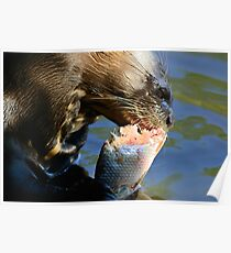 Giant River-otter eating a fish 001 Poster