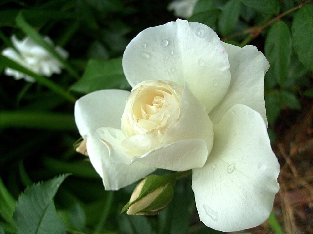 White bud by Ana Belaj
