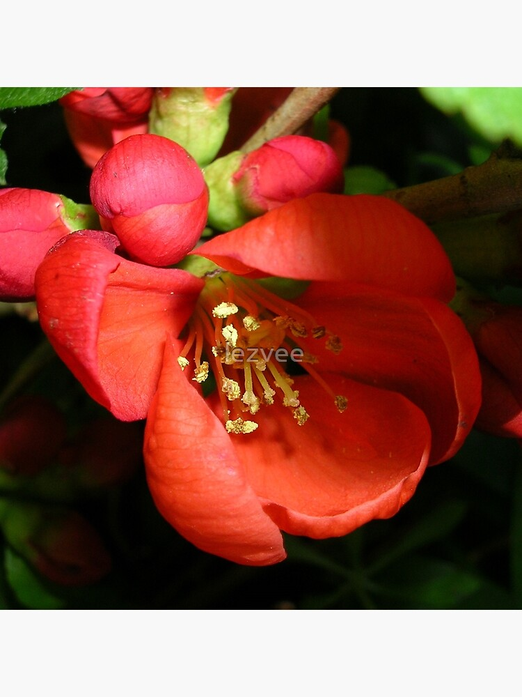 Japanese Quince by lezvee