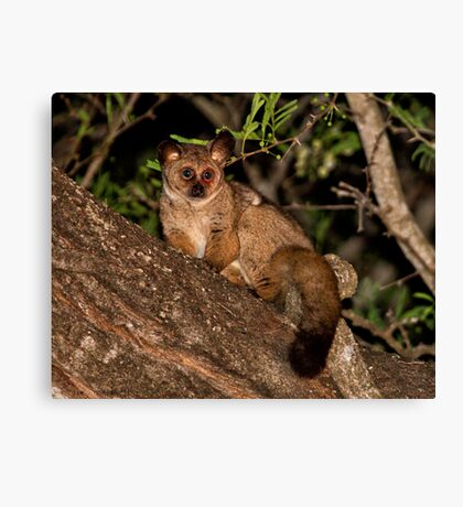 Baby Of The Bush Canvas Print