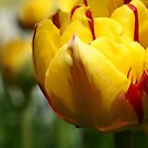 *** BEAUTIFUL EYES ~ YELLOW RED TULIP*** by JETAdamson