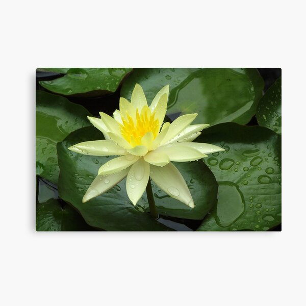 Yellow Water Lily Canvas Print