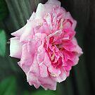 Rose Closeup by Sandra Lee Woods
