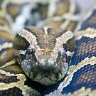 Burmese Python by Maybrick