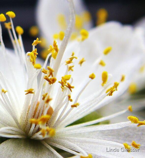 Avonia quinaria SSP alstonii White Flower Macro by Linda Gleisser