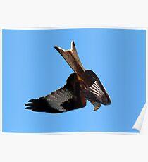 Red Kite stooping Poster
