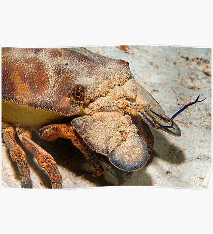 Slipper Lobster Poster