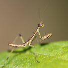 tiny tiny praying mantis small as a gnat by katpartridge