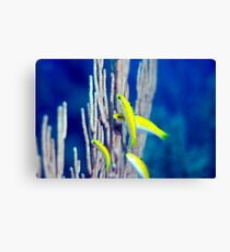 Canary Wrasse Canvas Print