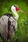 Wattled Crane by Scott Denny