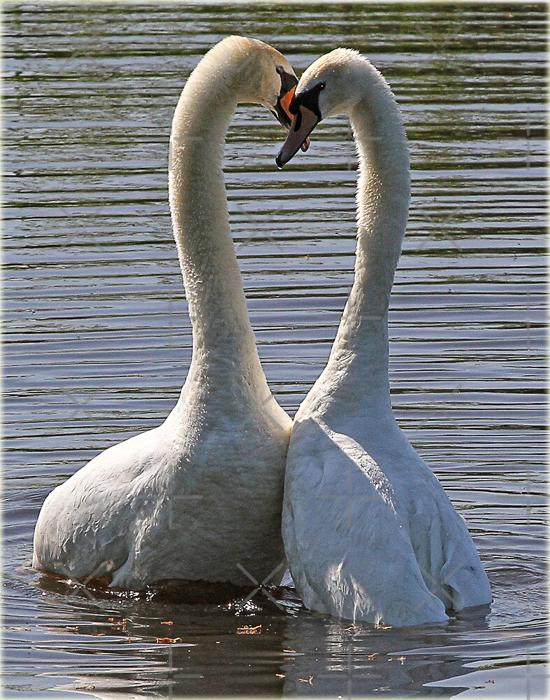 Mating Swans by alan tunnicliffe