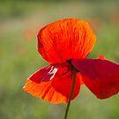 Poppy Butterfly by Karen Havenaar