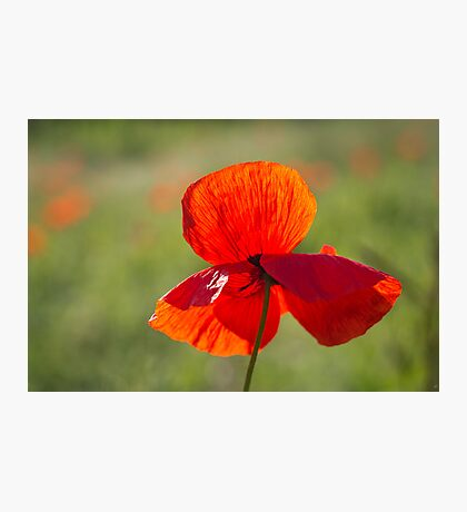 Poppy Butterfly Photographic Print