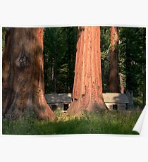 Giant Sequoias, Yosemite, California Poster