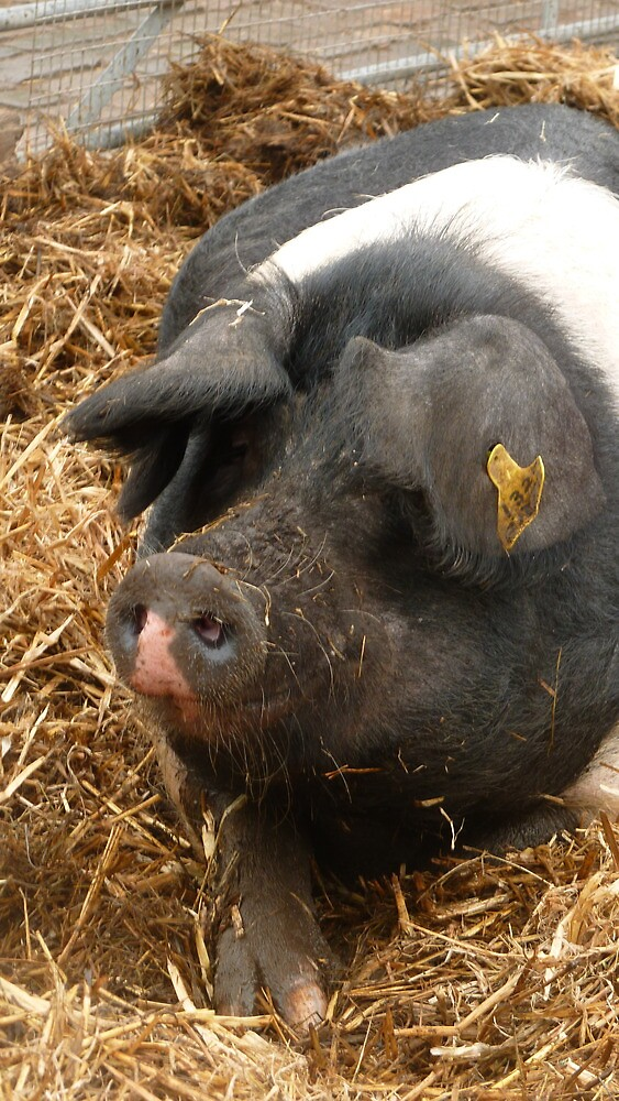 Pig turning his eyes by Fathers