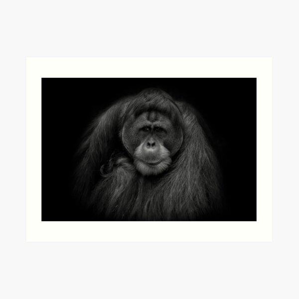 Male Orangutan Black and White Portrait Art Print