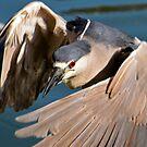 Black Crowned Night Heron 2 by George I. Davidson