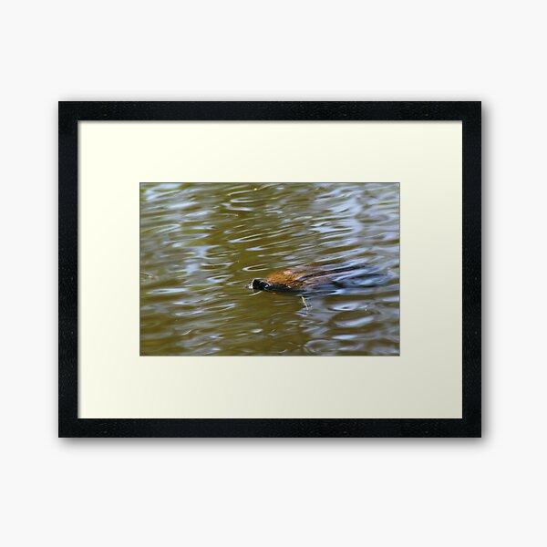 turtle swimming at Trojan pond, near Goble, Oregon Framed Art Print