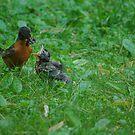 Feeding Baby Robin by Karen Checca