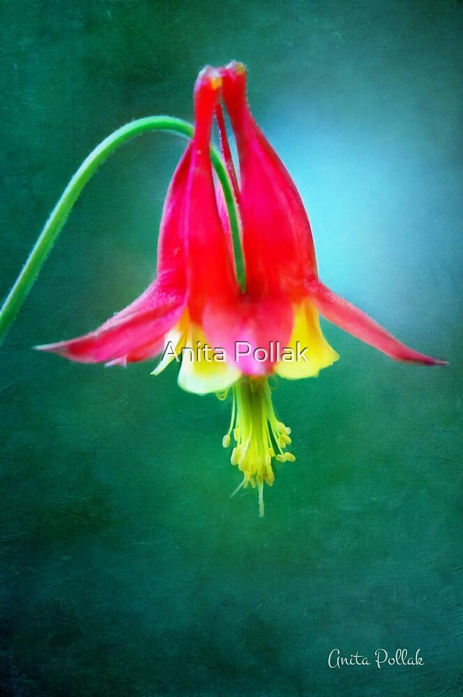 Colorful Columbine by Anita Pollak