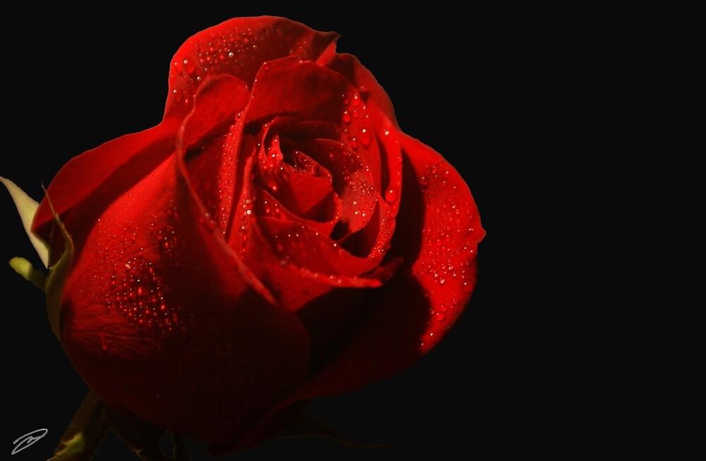 Rose  by David W Kirk