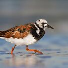 Ruddy Turnstone in Breeding Plumage. by Daniel Cadieux