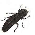 Paragrilus - Jewel Beetle by Glendon Mellow