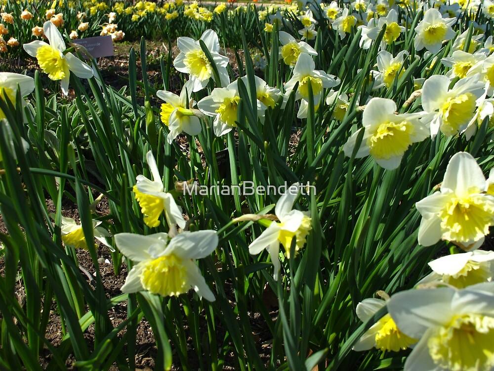 Daffodil garden by MarianBendeth
