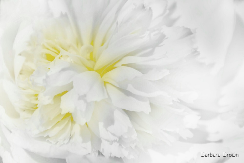 Peony in White by Barbara  Brown