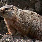 Meet Mr. Marmot by Ken McElroy
