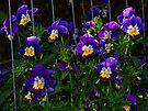 Beautiful Purple Violas by Tori Snow