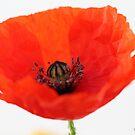 Wild poppy 2 by Photos - Pauline Wherrell