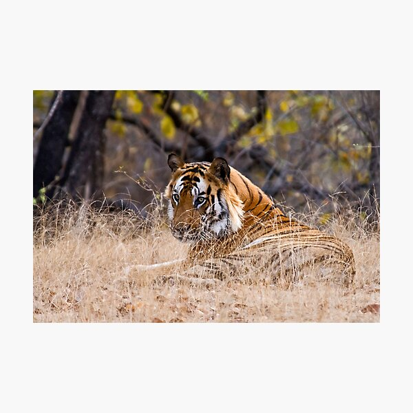 Mature male Bengal Tiger Photographic Print