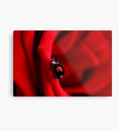 Black ladybug in red rose Metal Print