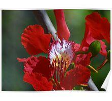 Close Up - Flamboyant I - Primer Plano   Poster