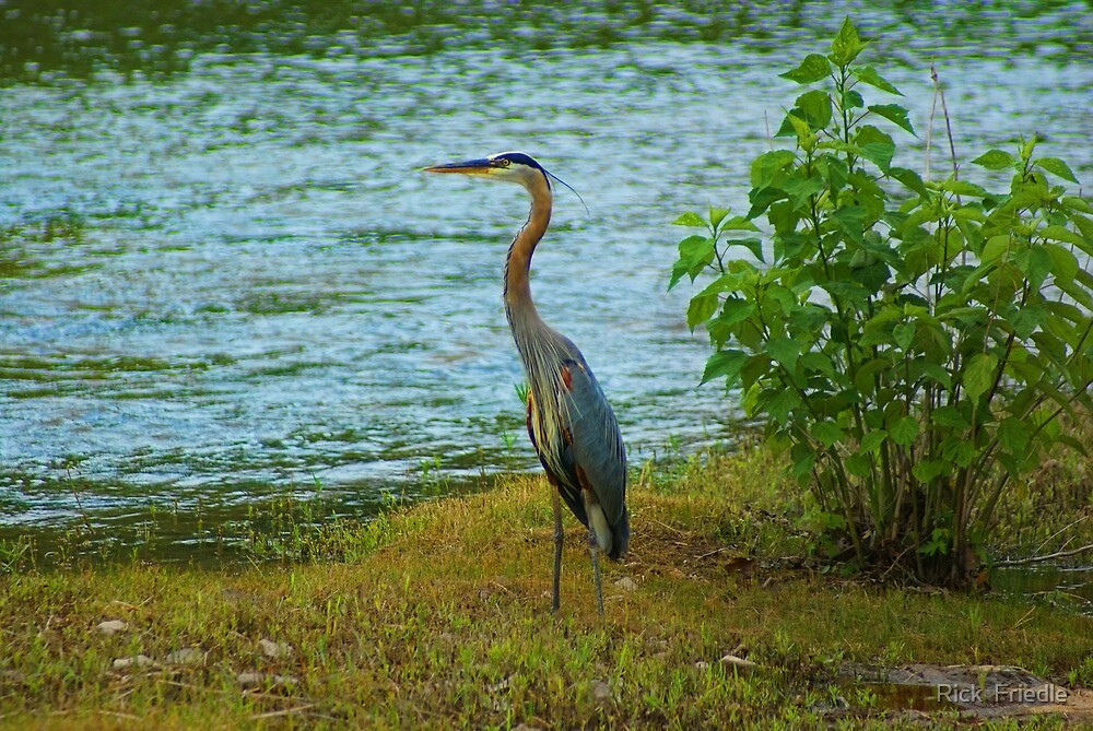 Heron On The River by Rick  Friedle